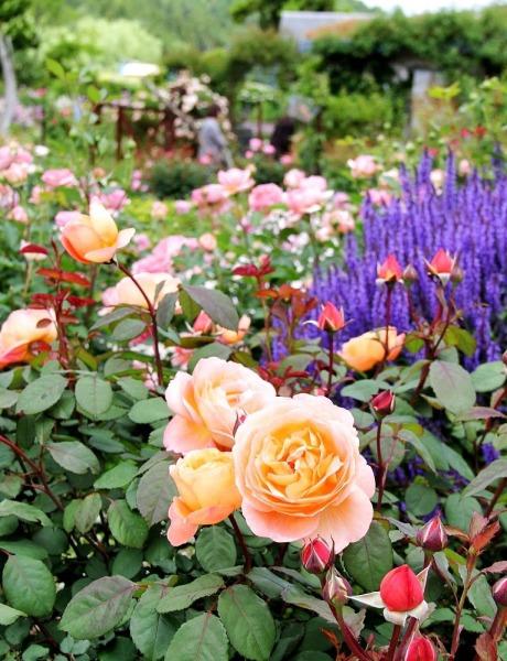 レデイ・エマハミルトンも低く剪定されているので 花つきがよくて蕾の数がすごい!