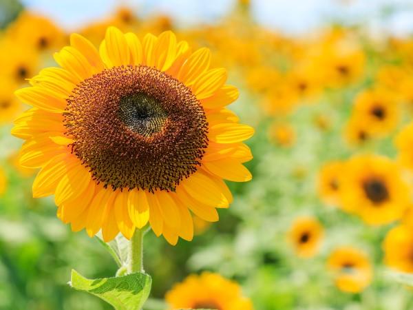 ひまわりは太陽に向かって咲くの?花言葉は?