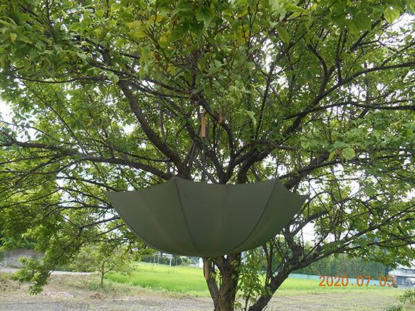 梅採りの傘