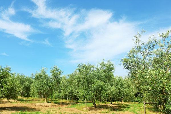 小豆島のオリーブ畑