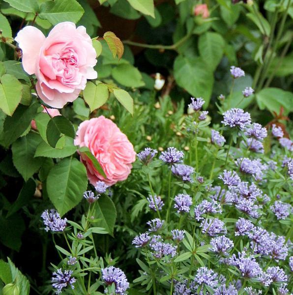 春に咲く花アスペルラ