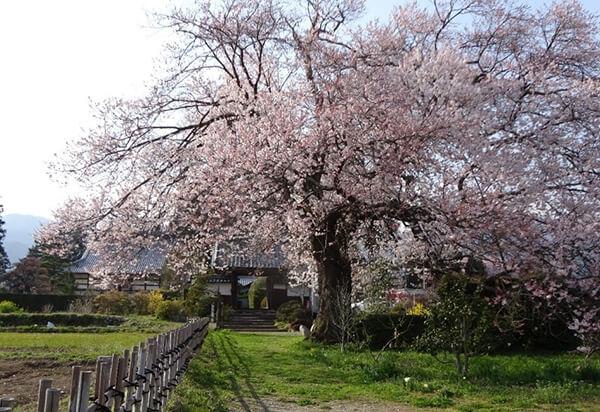 松源寺門前桜