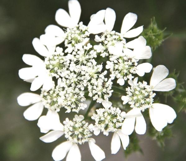 春の花オルラヤ