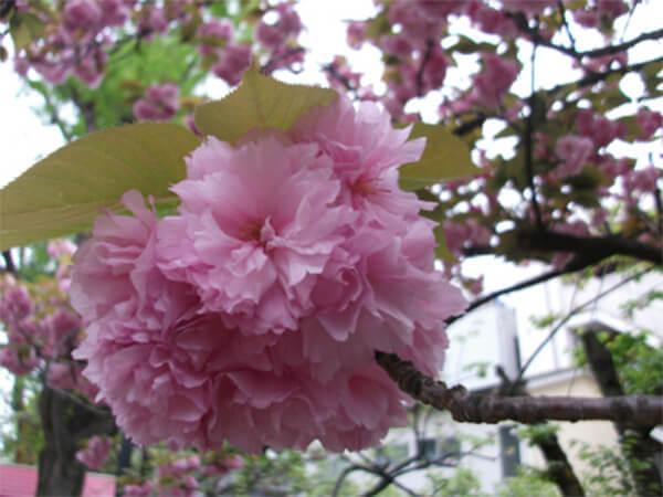 桜満開の3月、大変な過ちに気が付きました