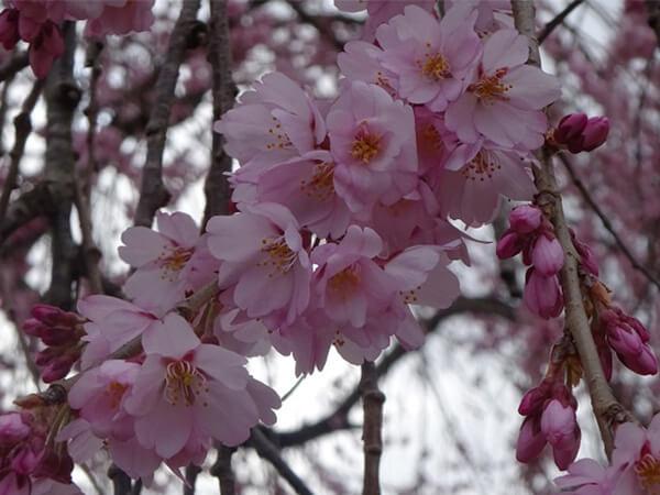 「一本桜のメッカ」、南信州の美しい桜を愛でる