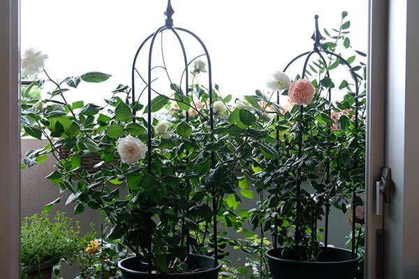初心者でも失敗しないバラの品種選びとおすすめ品種