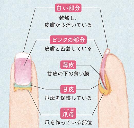 爪の先端の白い部分は、必ず2mm残して