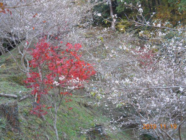 小原ふれあい公園の ちょっとさびしい四季桜と紅葉