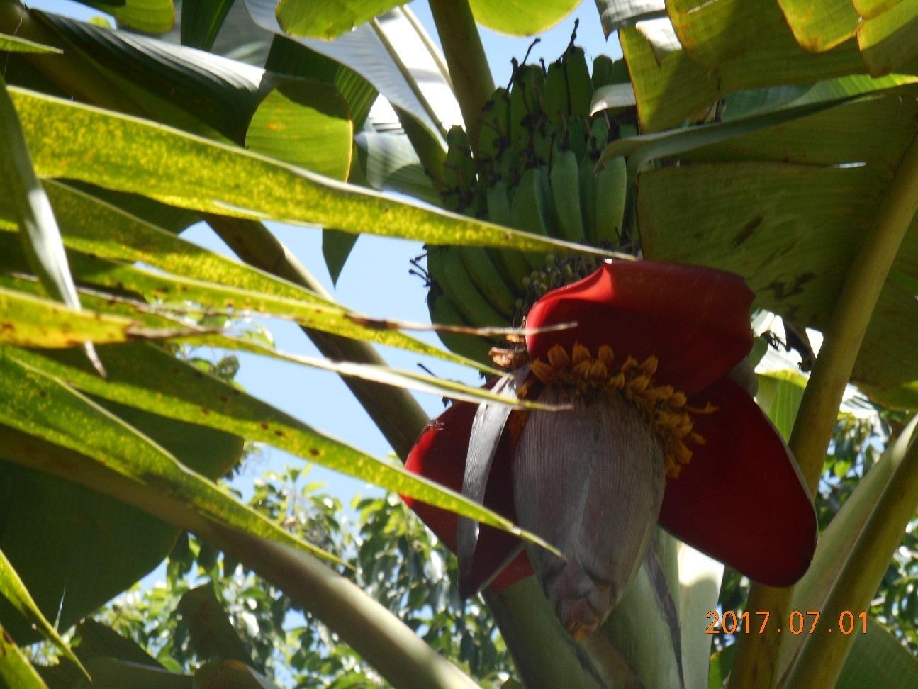 こんな大きなバナナの花を見たことありますか?