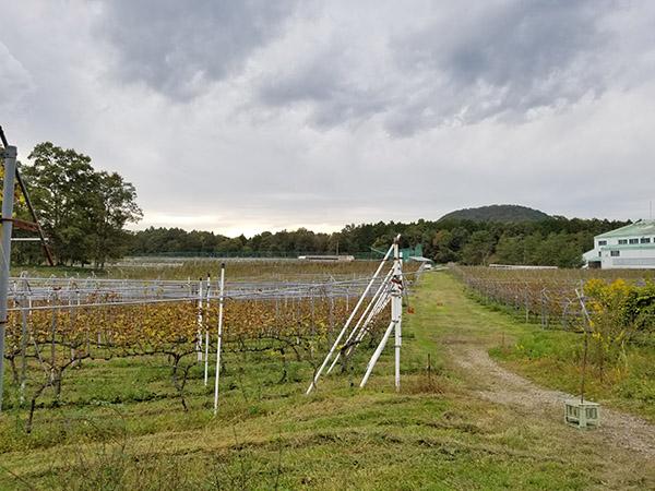 丹波ワインハウスのブドウ畑