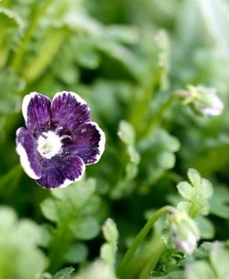 個性的な春の花ネモフィラ・ペニーブラック