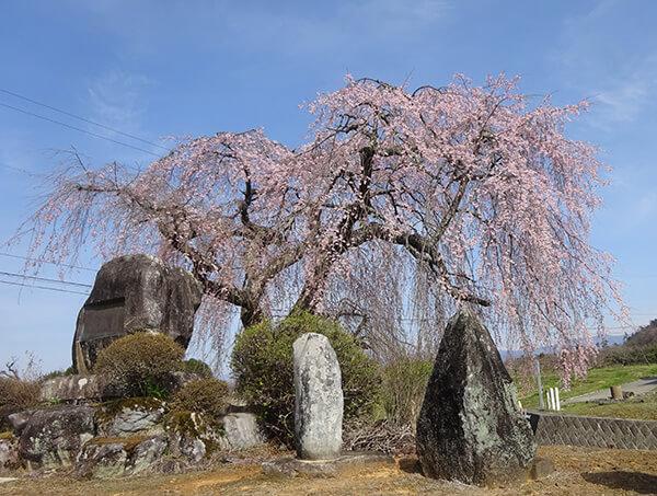 峠のシンボル、柳桜
