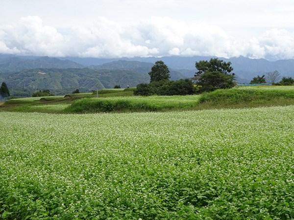 地元の自慢 ソバの花と美しい山々
