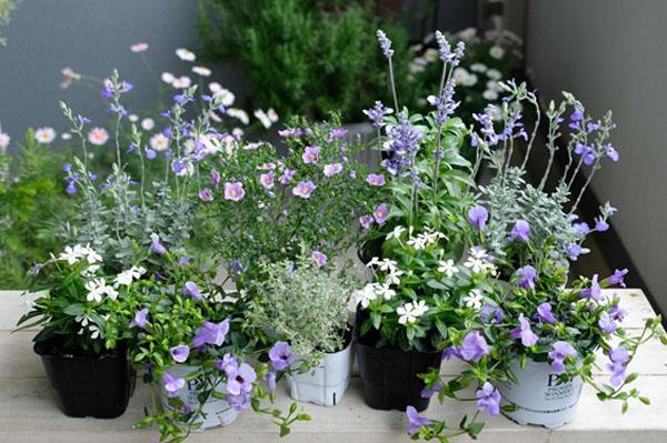 この夏のために用意した苗の一部です。実験を兼ねて、初めて育てる品種も中心にセレクト。色は青と白で揃えました。