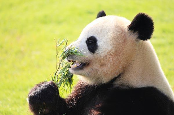 前歯で草を噛むパンダ