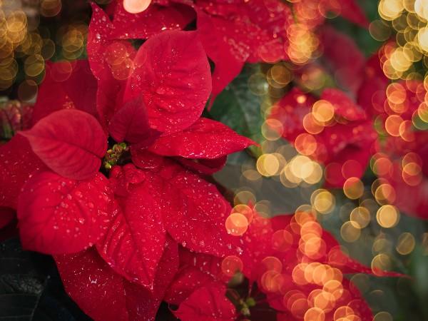 クリスマスの定番、ポインセチアの花言葉とは