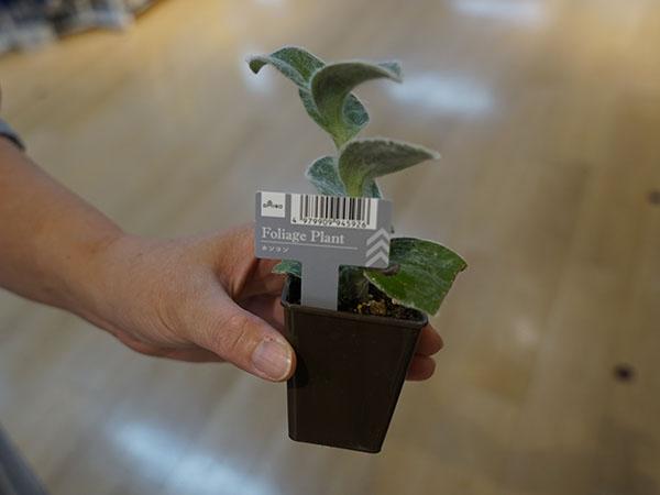 100円の小さい観葉植物