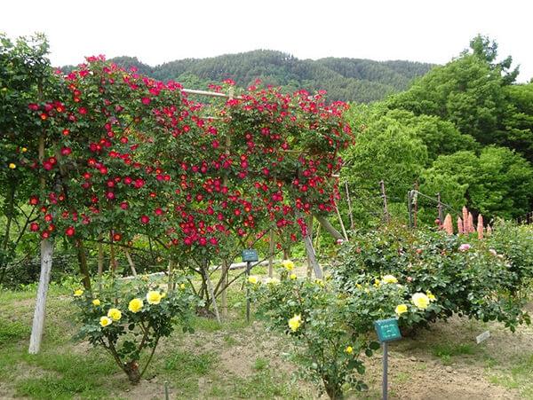 ハートの形に整えられた赤いバラ
