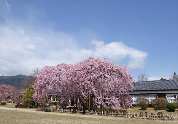 杵原学校校舎と枝垂れ桜