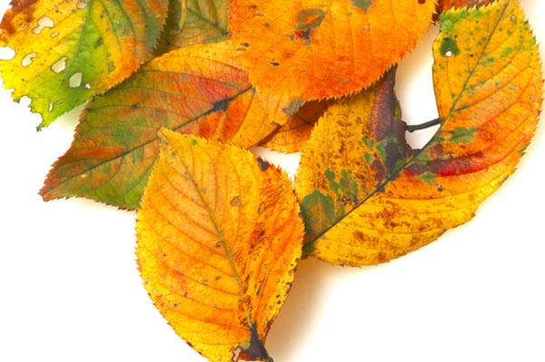 夏枯れの葉っぱ