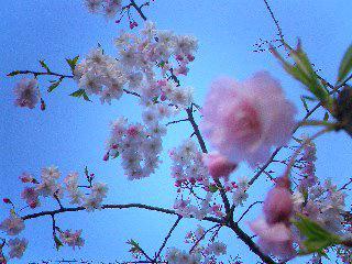 2007年、桜の時期。3回目の治療へ