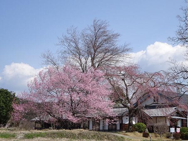 昇降口横の桜