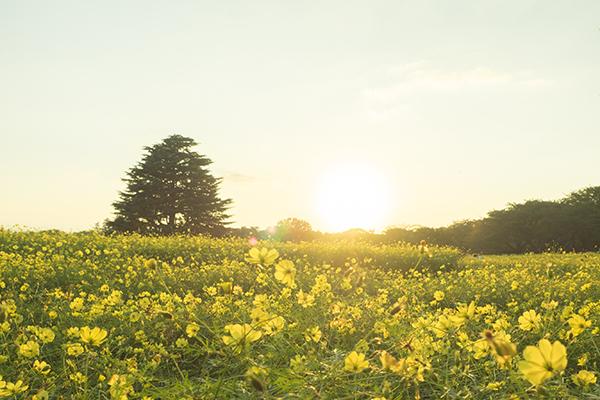 コスモス畑(撮影=山下コウ太)