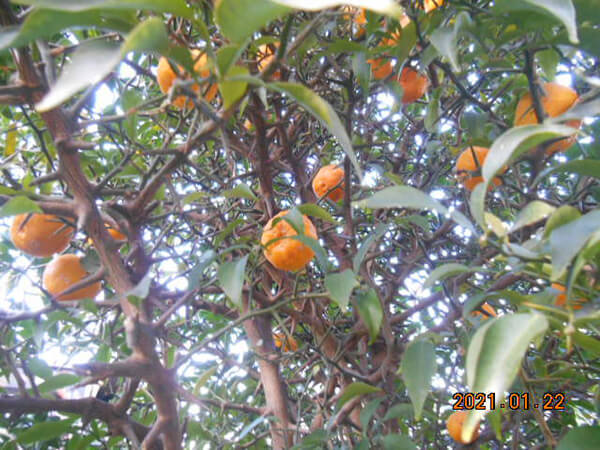 庭の柚子の木