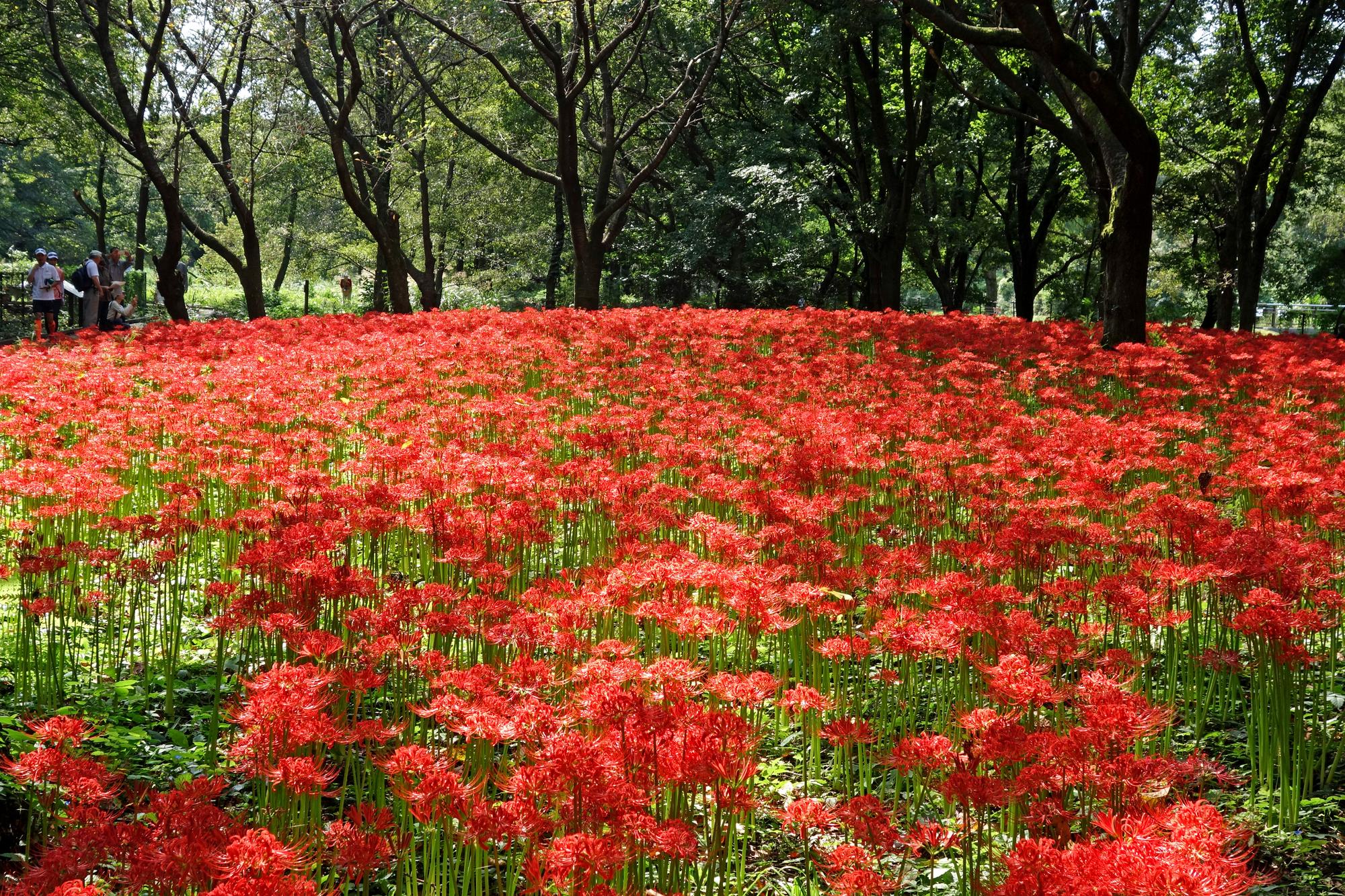 9月 初秋の野川公園で一面のヒガンバナに出合う