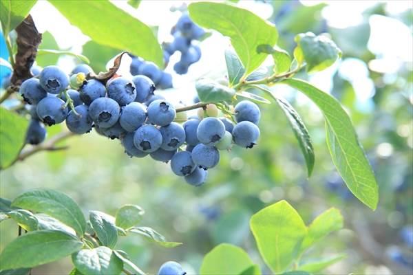 ブルーベリーの栄養と効果