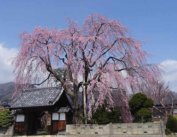 増泉寺の紅枝垂れ桜