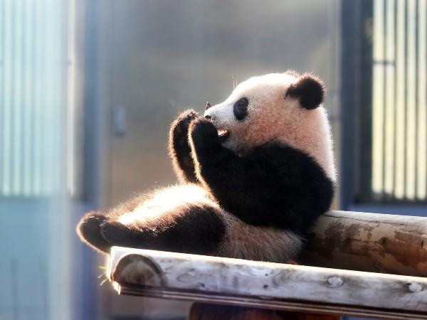 漢字や2つの名前を持ったパンダも