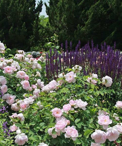 透き通るような花びらのスキャボロフェアー