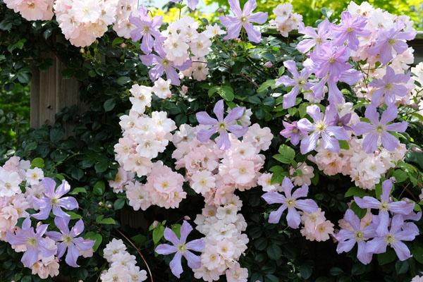 河合伸志さん作出のつるバラ「伽羅奢(がらしゃ)」とクレマチス
