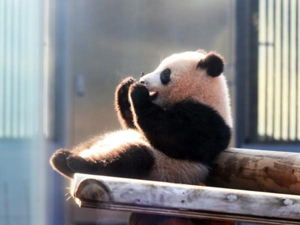 上野動物園の「パンダフィーバー」はいつ始まったの?