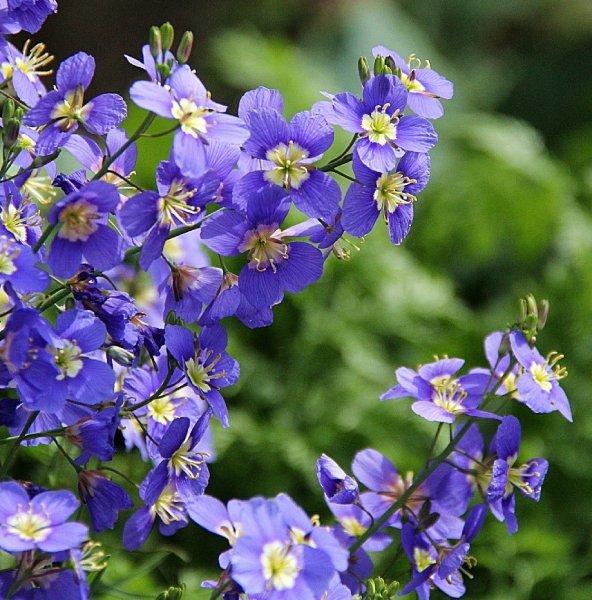 春一番に咲くヘリオフィラ