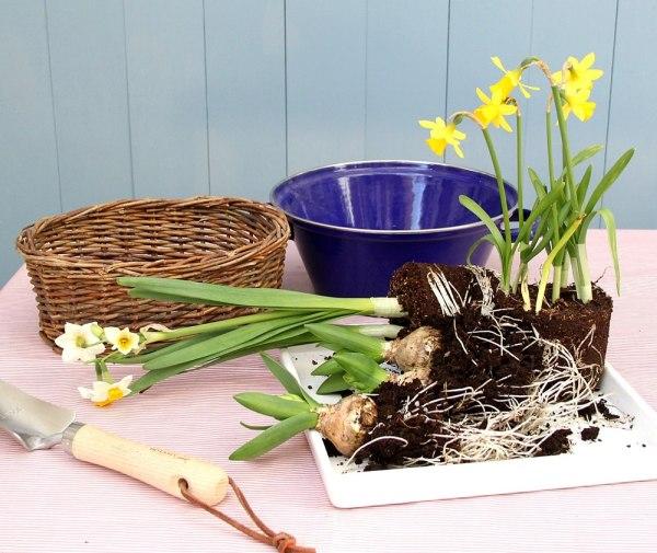 「芽出し球根」で色のない庭や部屋を彩りませんか?