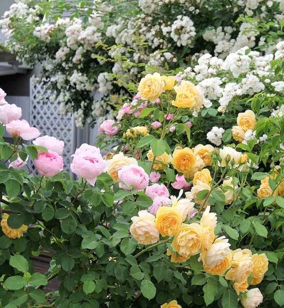 5月の庭のバラ