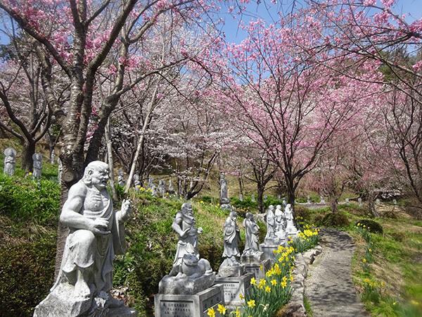 福寿院の桜 桜と水仙がきれいです