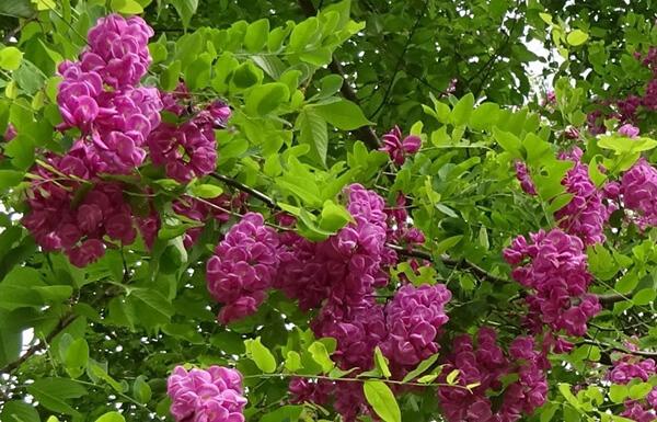 本アカシアの花