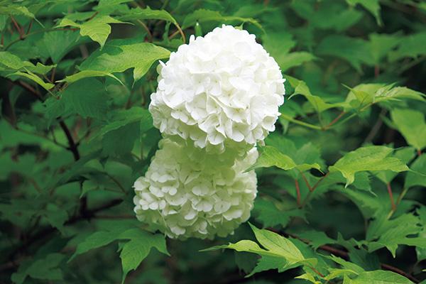6月に園内のいたるところで 大きな白い花房を開花させるテマ リカンボク。