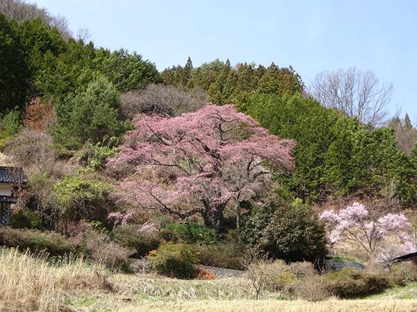 中川村の桜