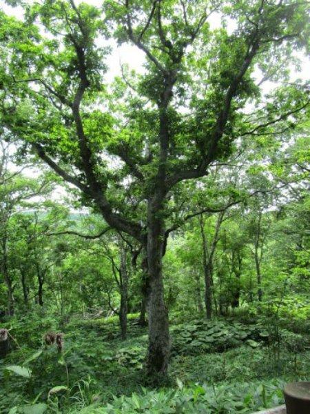 森一番の巨木