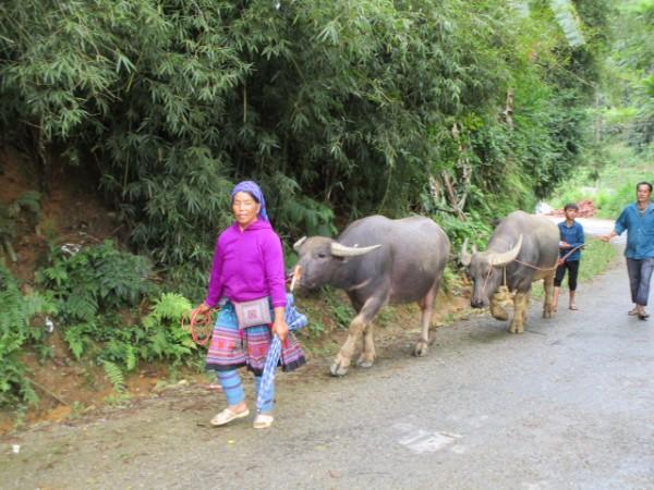 水牛が大切な労働の担い手