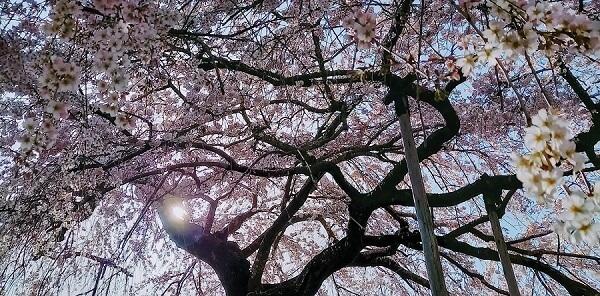 3月中旬三重県大紀町大蓮寺の枝垂れ桜