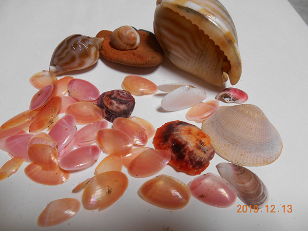 羽咋一宮海岸で拾った桜貝