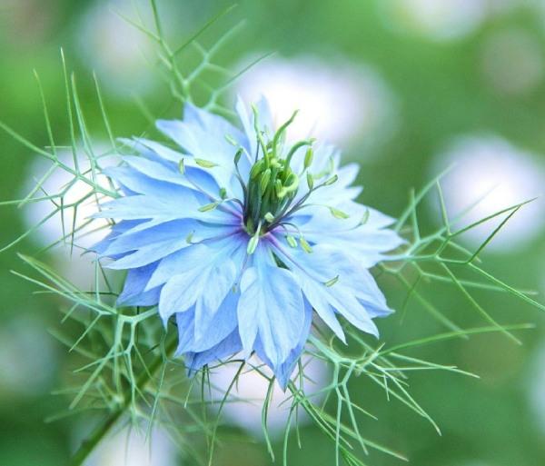 開花時期が5~6月の春の花ニゲラ