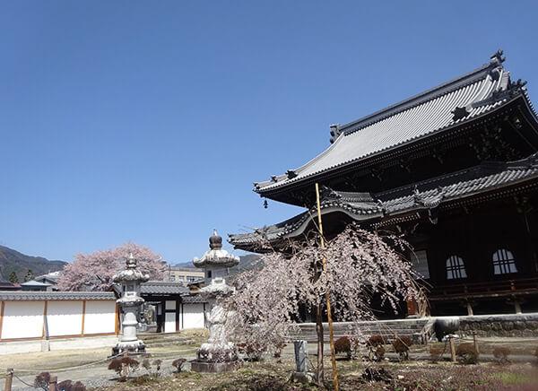 跡継ぎの桜、がんばれ