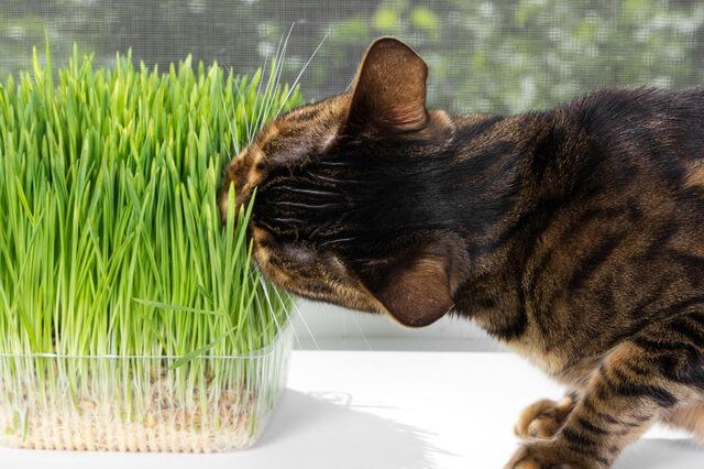 猫用の草を食べる猫