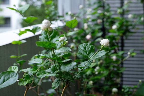茉莉花の魅力